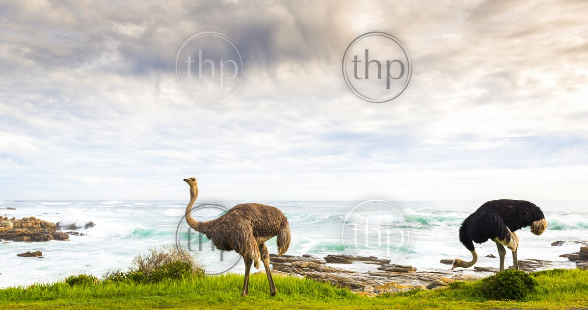 Male and female ostrich pair beside ocean coastline at the Cape of Good Hope, Cape Peninsula, South Africa