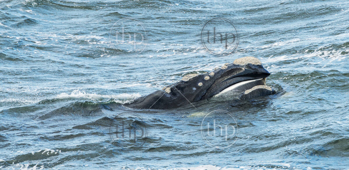 Southern Right Whale surfaces its head showing its baleen