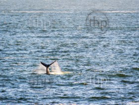 Southern Right Whale's tail with ocean spray