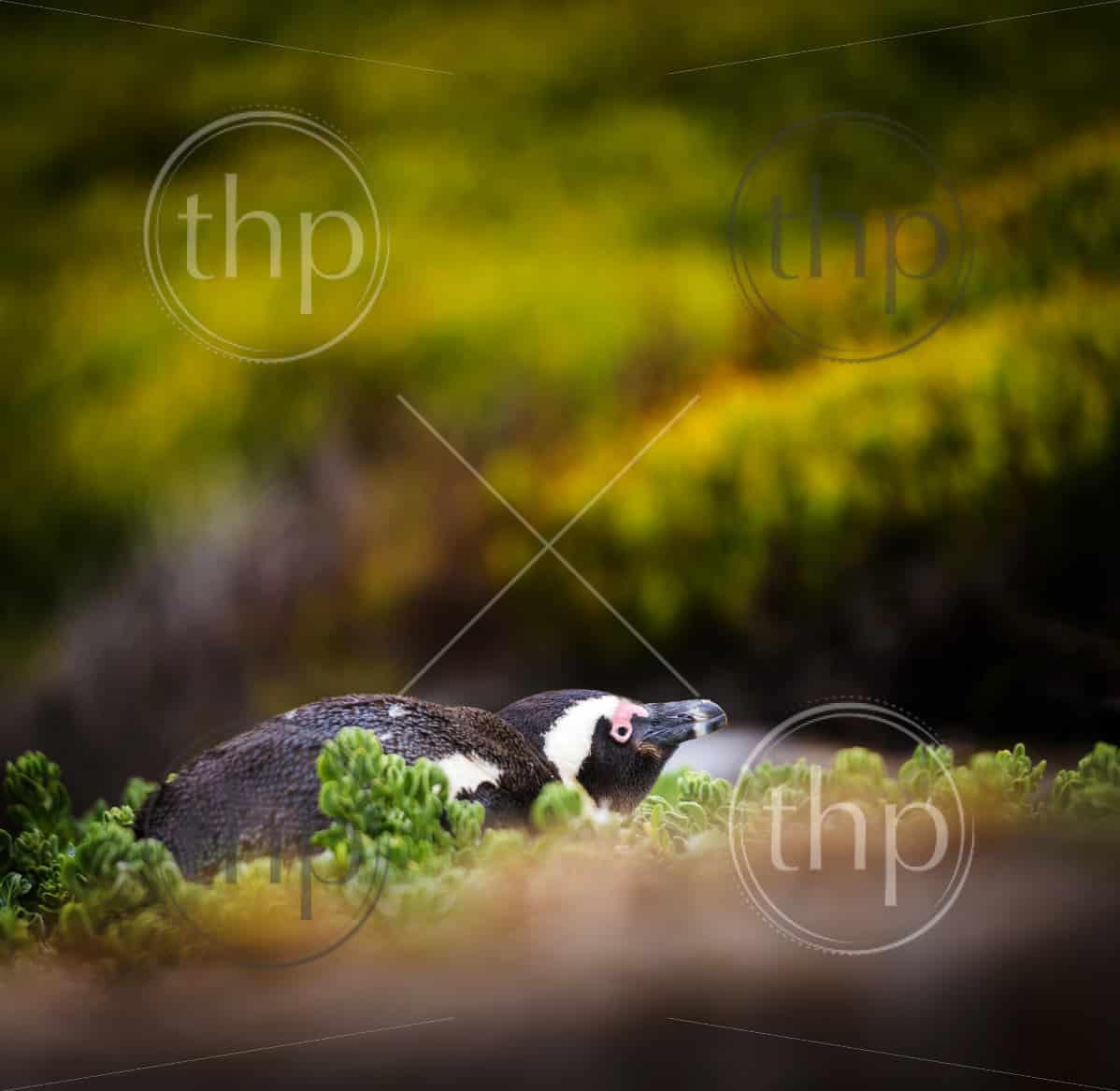 Shy African Penguin hiding amongst vegetation in Cape Peninsula, South Africa