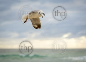 Beautiful seagull bird in flight over the ocean