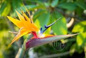 Bird Of Paradise flower (Strelitzia reginae) in full bloom in tropical garden
