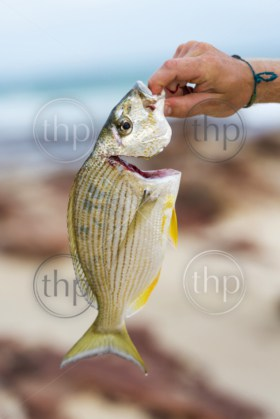 Man holds up his catch of fresh yellowfin bream fish while beach fishing in Australia