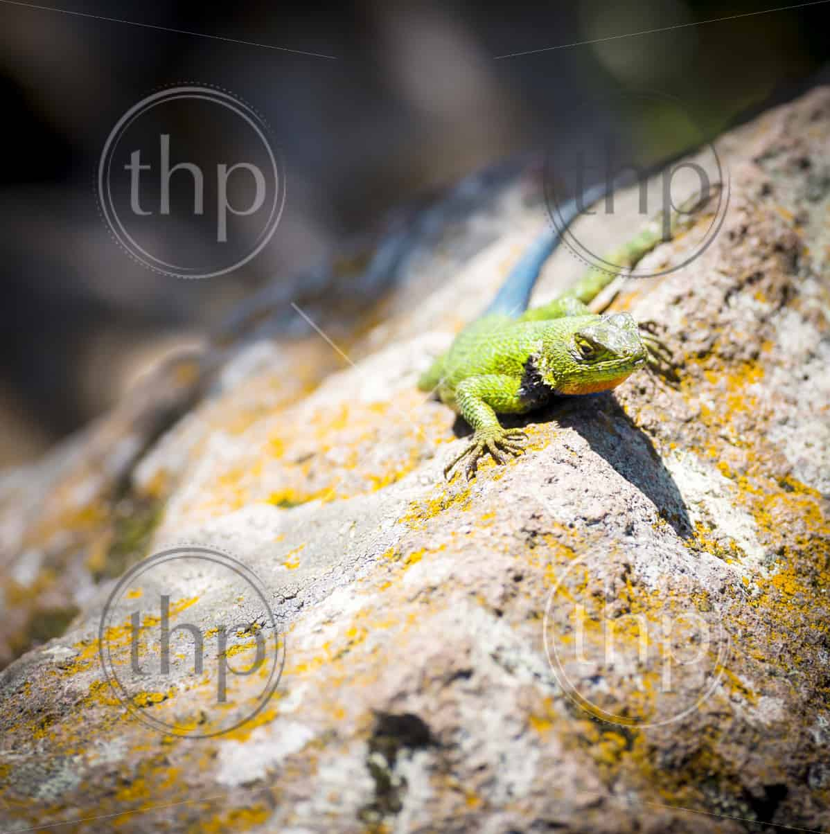 Malachite Spiny Lizard (Sceloporus Malachiticus) sitting on a rock in Central America