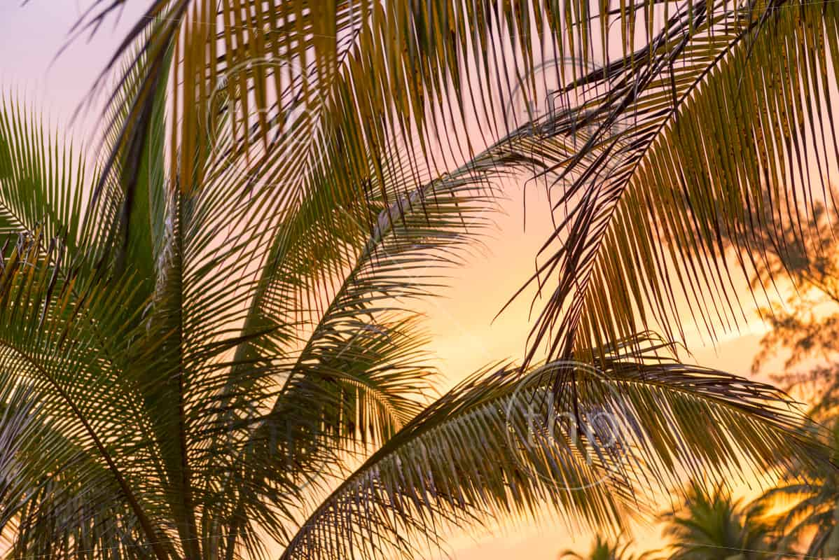 Tropical sunset light on beach palm tree fronds