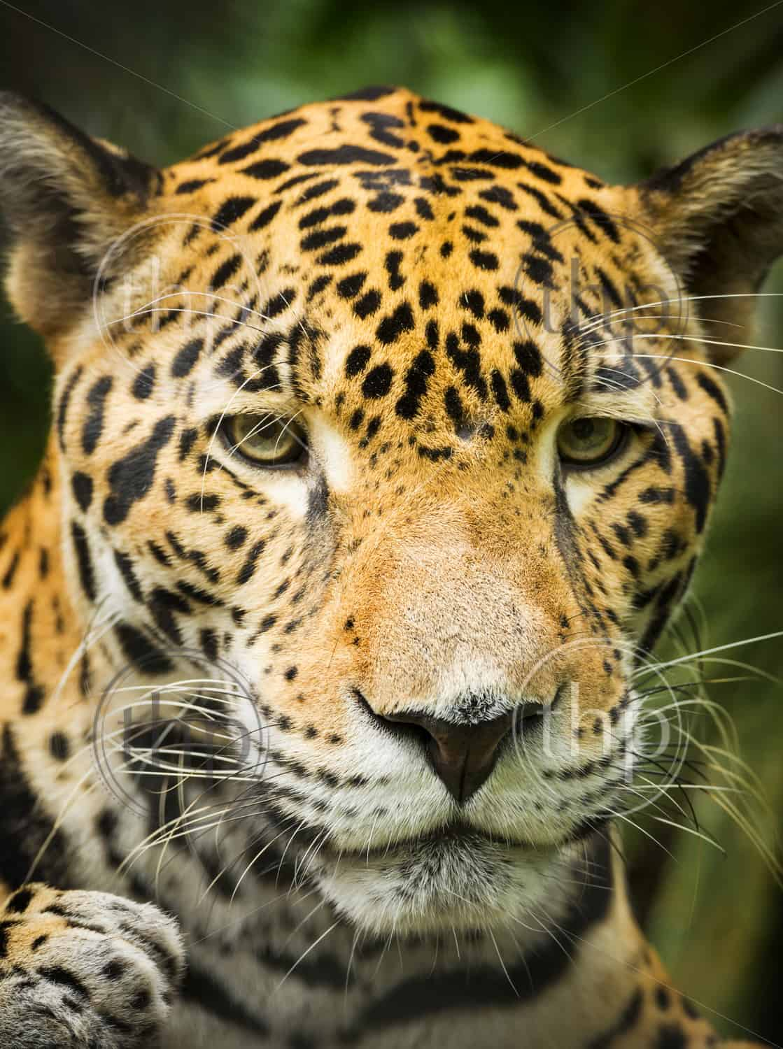 Beautiful Jaguar cat (Panthera Onca) in close up portrait