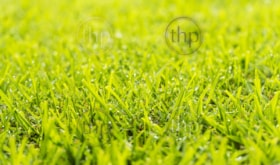 Green grass lawn with fresh morning dew drops in sunlight