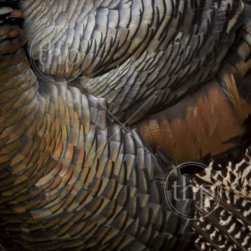 Background texture made of genuine turkey feathers